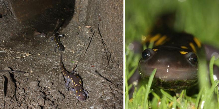 10 – Túneis de salamandras em New England, nos EUA
