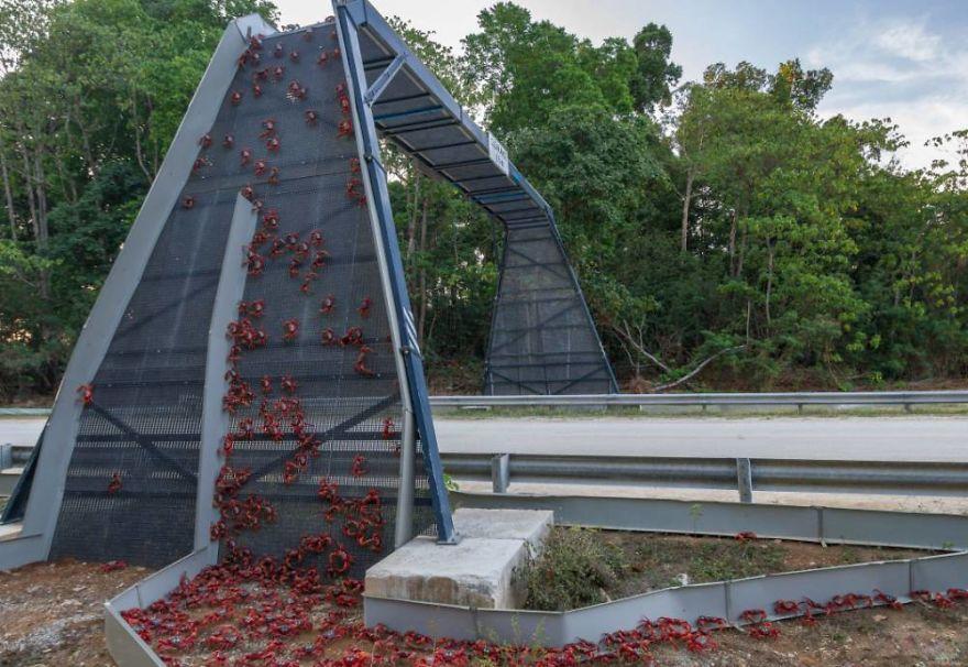 1 – Ponte de caranguejos na Christmas Island