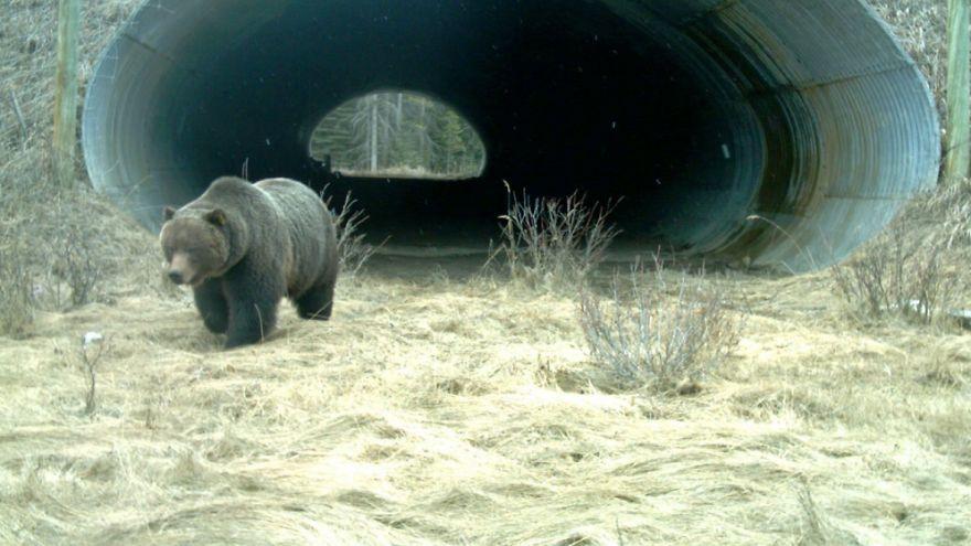 8 – Túnel para ursos que passa debaixo de uma autoestrada no Canadá