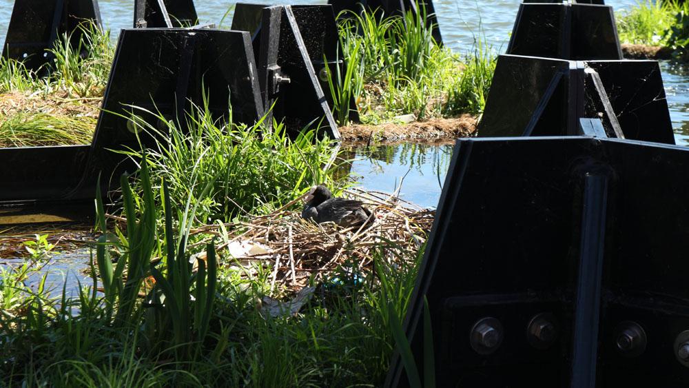 Um pato que descansa no seu ninho