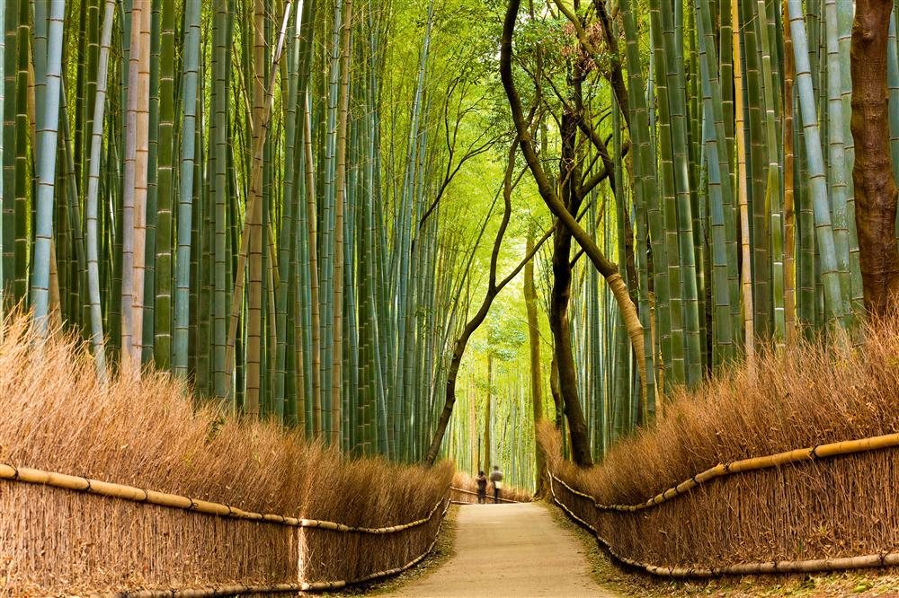 Floresta de bambus no Japão / National Geographic
