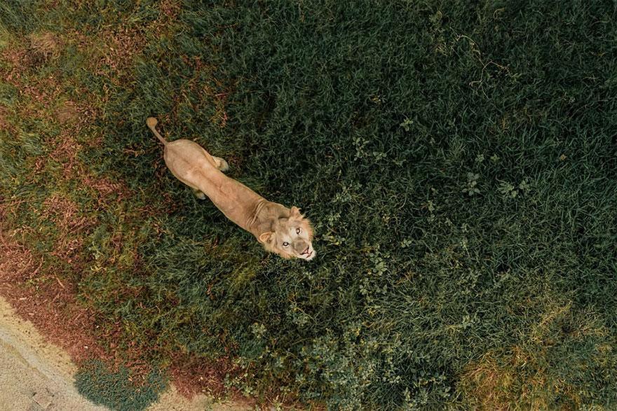 Leão VS Drone