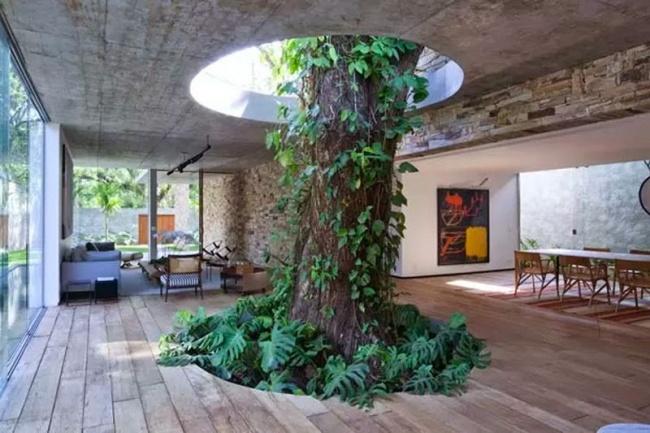 Esta árvore cresce por um buraco no interior de uma casa