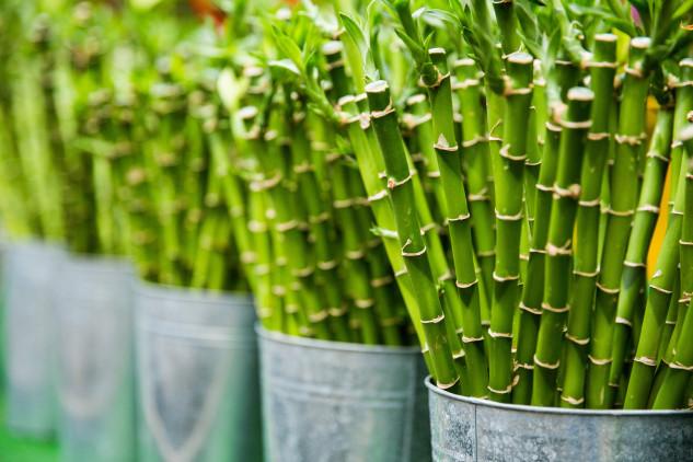 Bambu, boa energia